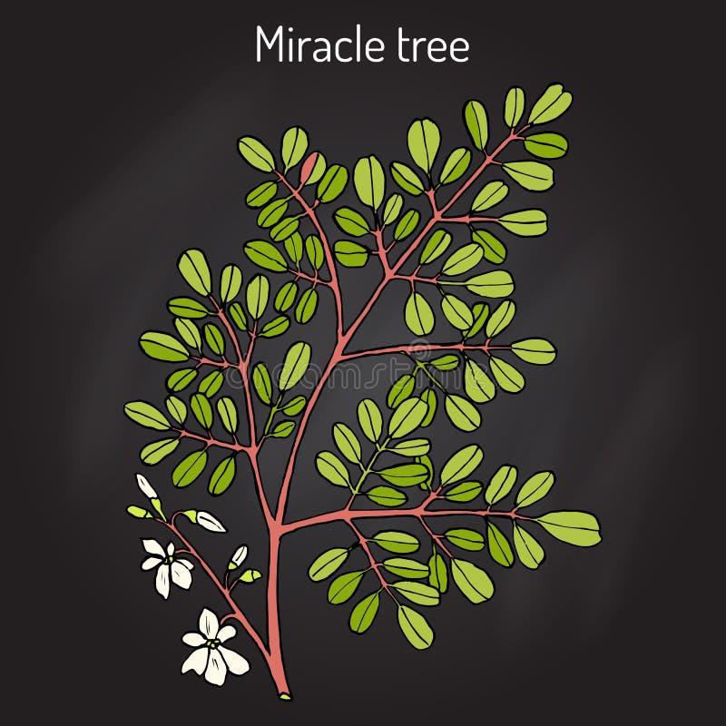Moringa van de mirakelboom oleifera, geneeskrachtige installatie royalty-vrije illustratie
