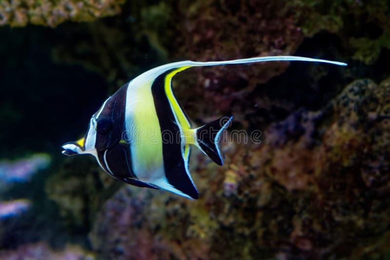 Morisk förebild - den Zanclus cornutusen - marin- fiskart, gemensam invånare av tropiskt till subtropiska rever och lagun royaltyfria bilder