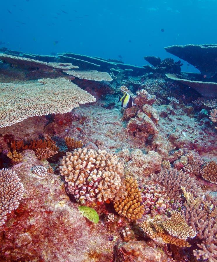 Morisk förebild (den Zanclus cornutusen) nära Coral Reef arkivfoto