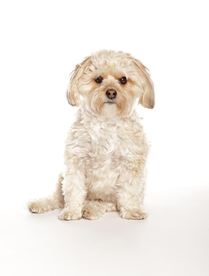 Morkie - cucciolo maltese della miscela di Yorkie fotografie stock libere da diritti