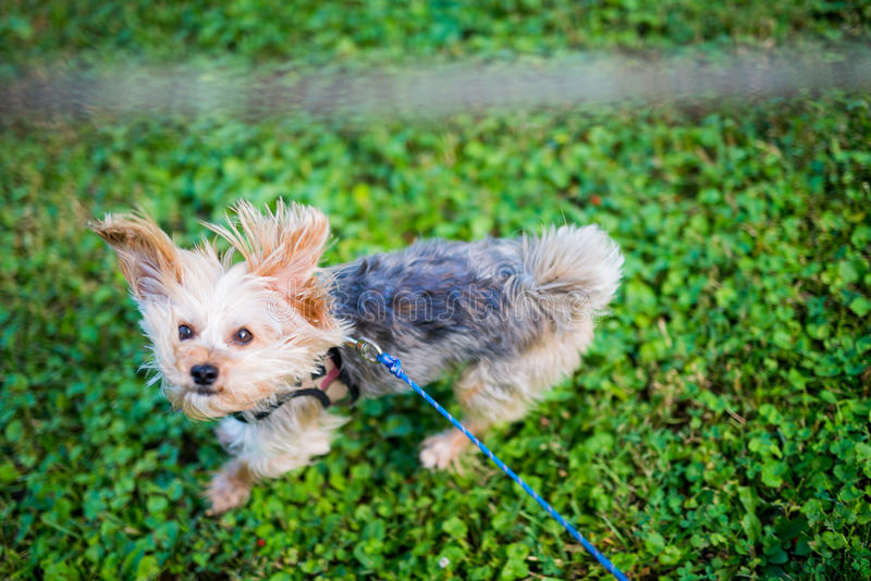 Morkie Dog Jumping to Catch Stick in the Air on Warm Sunny Day. Picture of a Morkie & x28;maltese mixed with Yorkie& x29; jumping up to catch a stick held hight royalty free stock photo