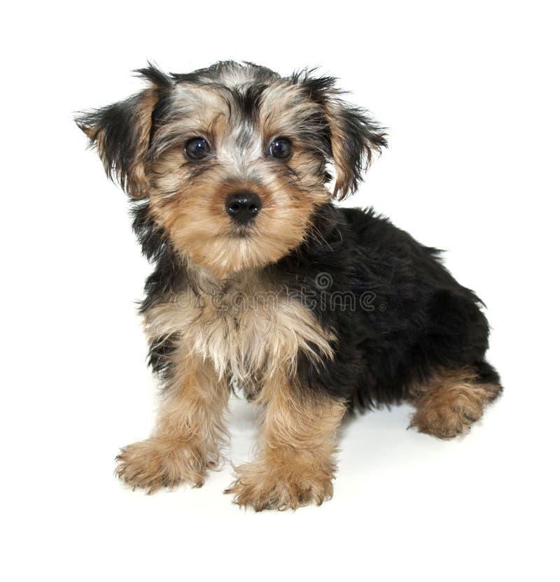 Free Morkie Puppy Stock Photos - 20700473