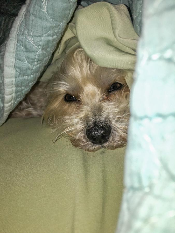 The Morkie puppy hiding. The Maltese yorkie mix puppy hiding under the teal and green sheets royalty free stock photos