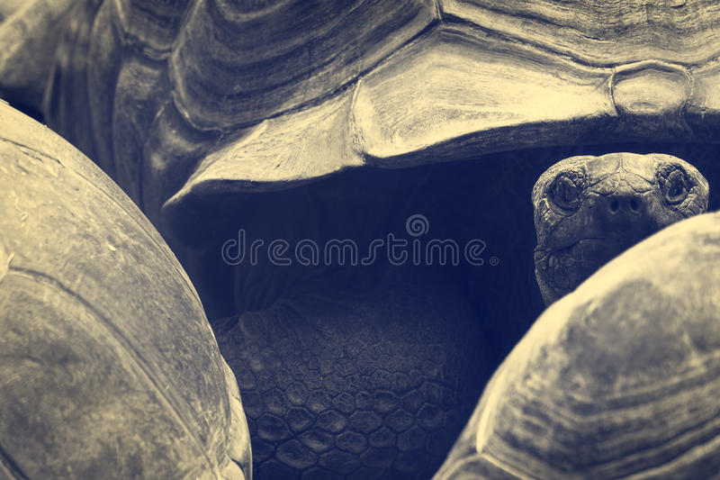 Morla. Turtoise watching closeup in a zoo in Munich royalty free stock photography