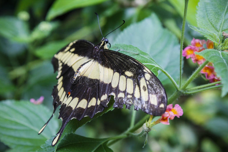 Mormon butterfly royalty free stock image