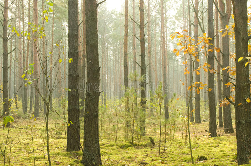 Morning in autumn wood. stock image
