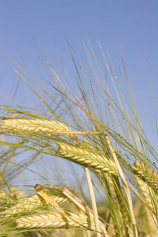 Morning Barley stock photos