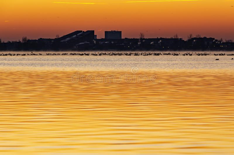 On this morning with a beautiful orange and yellow sky hundreds of coots come to the water of lake Zoetermeerse plas.  stock photography