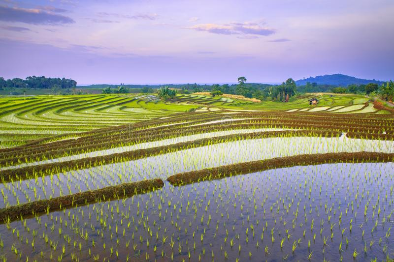 During the morning of the beauty of rice and irrigation lines royalty free stock photo