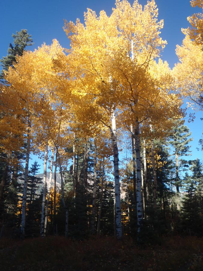 Morning Blaze of Color. Bight Fall colors of Aspen trees captured right as the morning sun washed over the top of the trees, leaving the lower, non-colored stock photo
