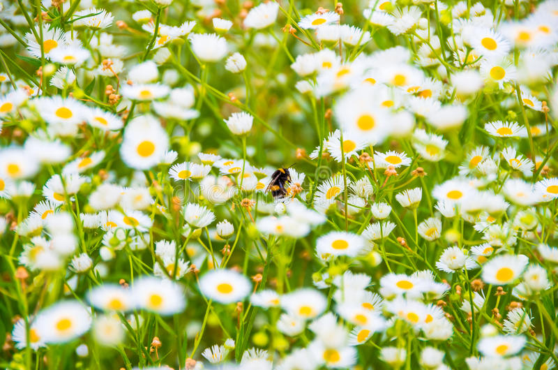 In the morning bumblebee gathers pollen stock image