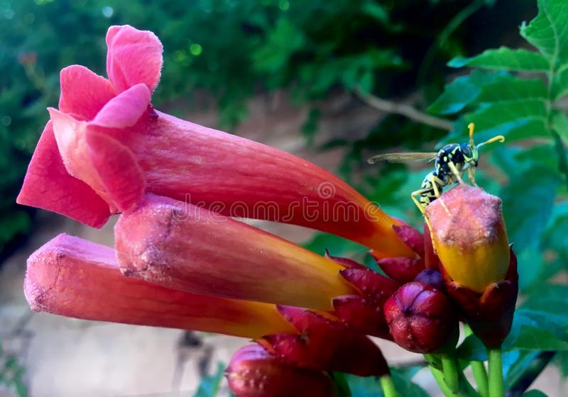 Morning Calm Trumpet Creeper Campsis grandiflora and a wasp royalty free stock photos