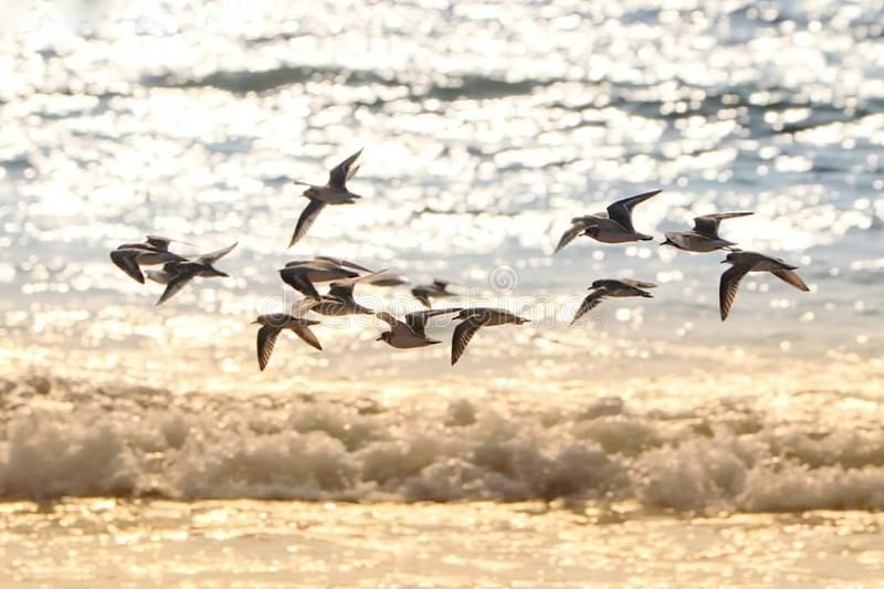 A morning capture photo in sea. Morning a swarm bird fling on the sea . the bird are searching eat royalty free stock image