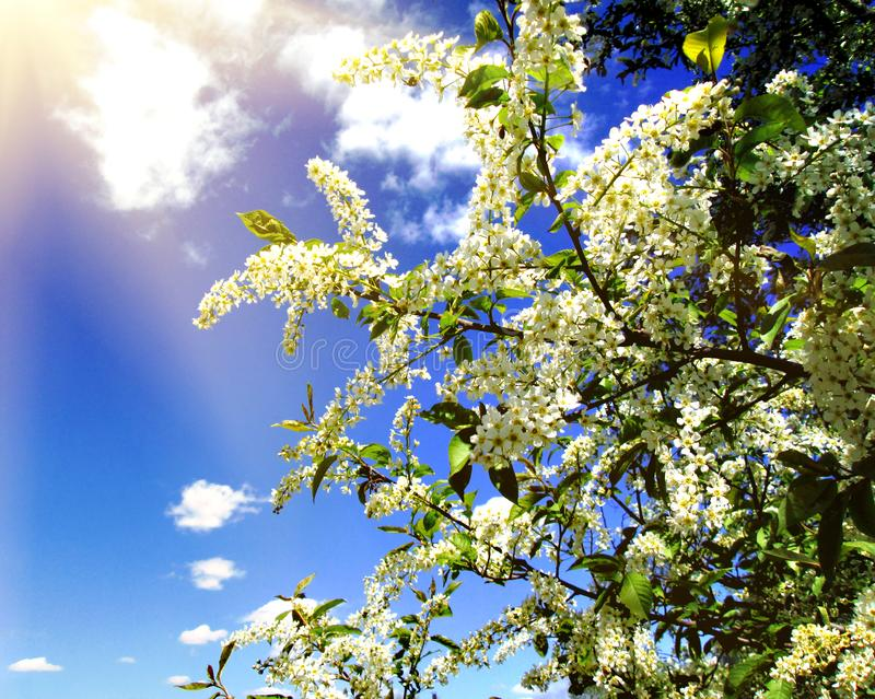 Morning in the cherry orchard. The sun shines through the flowering branches of a cherry tree. Spring background. Blooming stock photos