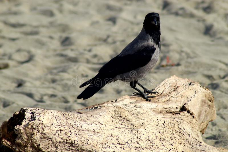 The Crow sitting at the beach. This morning the Crow was sitting at the beach in Marina di Massa in Italy royalty free stock photography