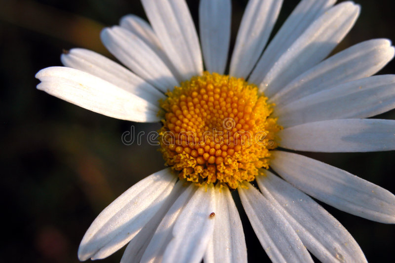 Morning daisy. Delicate flower in the morning light, with a few missing petals stock image
