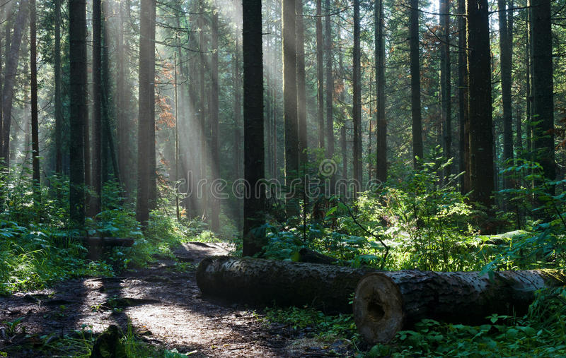 Morning in the deep forest stock image