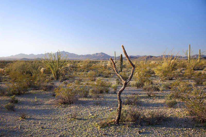 Morning Desert Landscape, Arizona. A landscape photograph of the desert, taken at the Organ Pipe Cactus National Monument in Southern Arizona, in the morning stock images