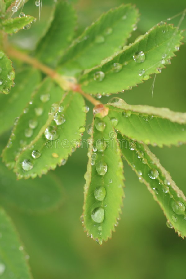 Free Morning Dew Royalty Free Stock Photography - 4587317