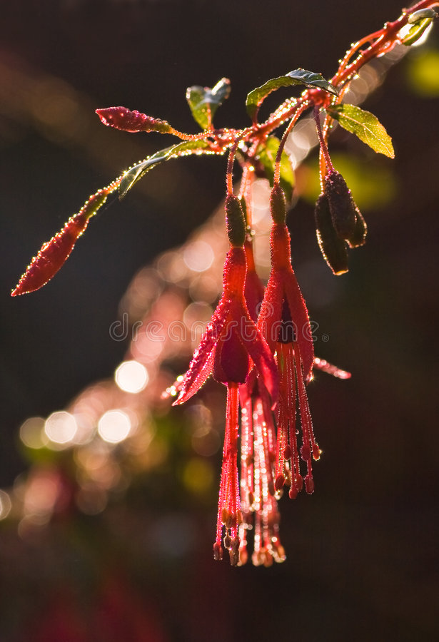 Morning dew. Sun is shining through the drops of morning dew on a fuchsia royalty free stock images