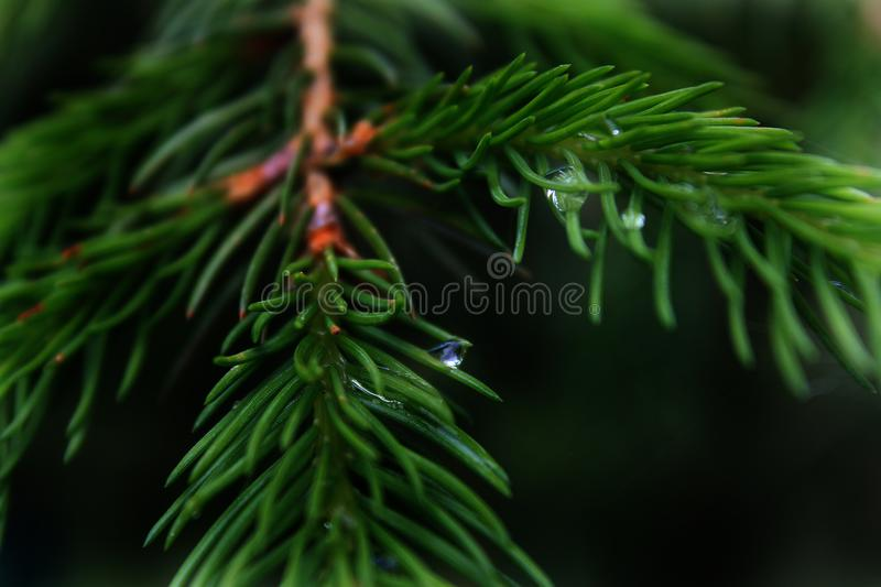 Morning dew on the Christmas tree stock images