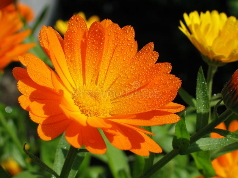 Morning Dew Covered Pot Marigold. In the early morning sunrise, a dew covered Pot Marigold Calendula officinalis like a mini sun, shines back it`s beauty towards stock photos