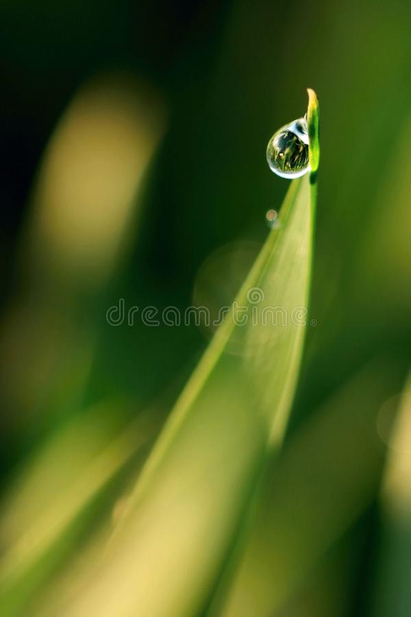 Morning Dew Drop royalty free stock images