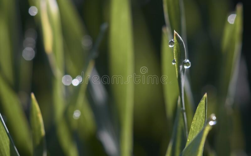 Macro dew drops glistening on grass. Morning dew drops glistening on fresh green grass tips on an early winter morning royalty free stock images