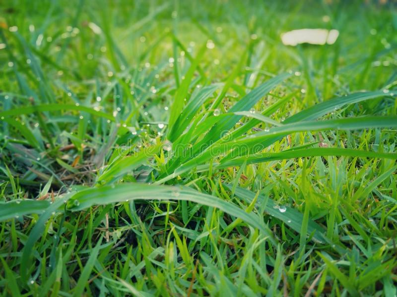 Morning dew drops on green grass leaves. Morning dew drops on the green grass leaves stock photography