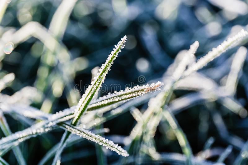 Morning dew froze on a green grass lawn and turned into frost, which shimmers in the rays of sunlight. Close-up stock photography