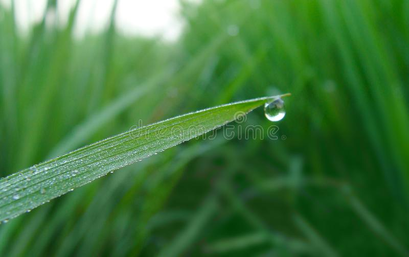 Morning Dew On Paddy Field royalty free stock images