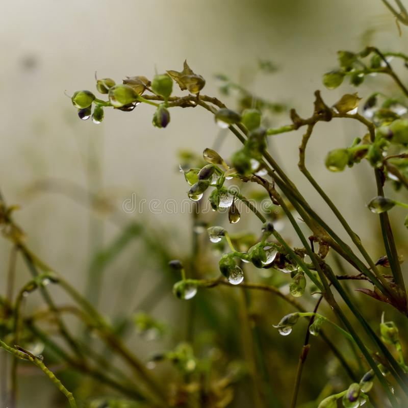 Morning dew, dew in grass, Nature. Morning dew, dew in grass,. Morningdew, water, blurs, background, drop royalty free stock photo