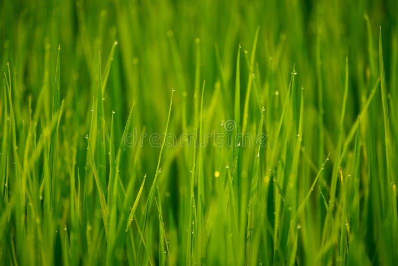 Morning dew on grass. Morning dew on green grass, closeup stock photos