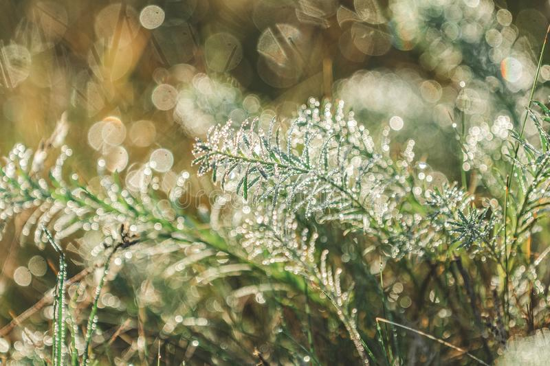 Morning dew on green grass at the natural morning sunlight. Beautiful nature blurred background. Morning dew on green grass at the natural morning sunlight royalty free stock photos