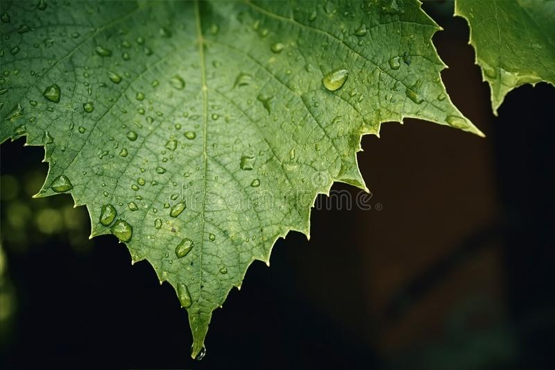 Morning dew on the leaf. Drops of dew royalty free stock photo