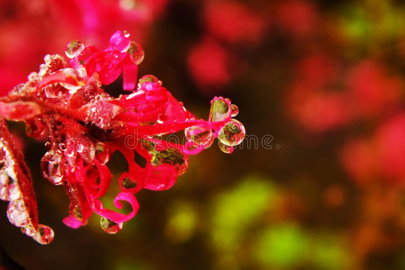 Morning dew of safflower royalty free stock photography