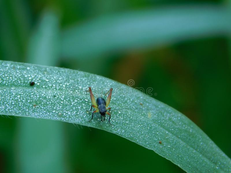 Morning dew and a small insect. Nature, green, morningatmosphere stock photography