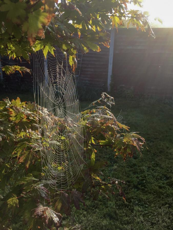Cobwebsunrise morning dew Japanese maple tree glare spiders web grass nature pretty. Morning dew on a spiders web on a tree stock photography