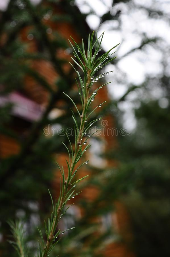 Morning dew on spruce needles after rain royalty free stock photos