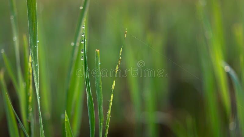 Morning dews at paddy fields. SABAK BERNAM, MALAYSIA - 25TH JANUARY 2015; Green ear of rice in paddy rice field under sunrise in Sabak Bernam, Malaysia royalty free stock photos