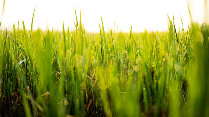 Morning dews at paddy fields. SABAK BERNAM, MALAYSIA - 25TH JANUARY 2015; Green ear of rice in paddy rice field under sunrise in Sabak Bernam, Malaysia stock photos