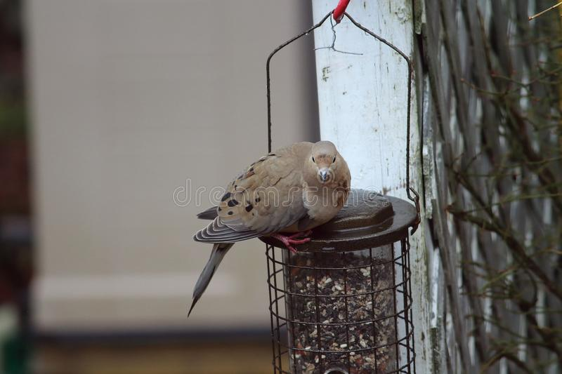 Morning dove on the feeder stock image