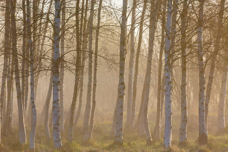 Morning fog in the birch tree woods royalty free stock image