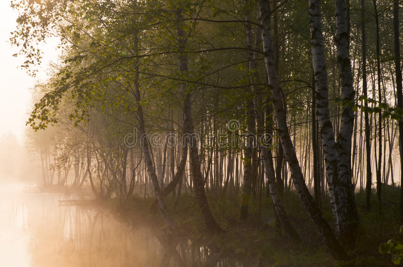 Download Morning fog in the forest stock image. Image of forest - 19858175