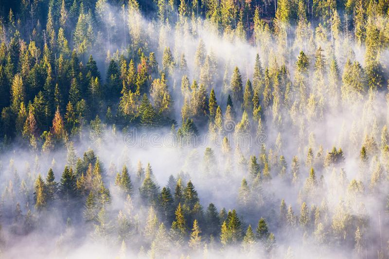 Morning fog in spruce and fir forest in warm sunlight. Coniferous forest in fog, Misty pine woodland. Morning fog in spruce and fir forest in warm sunlight stock photo