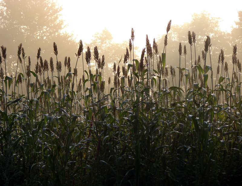 Morning Fog Sunlight Haze over Country Corn Field stock image