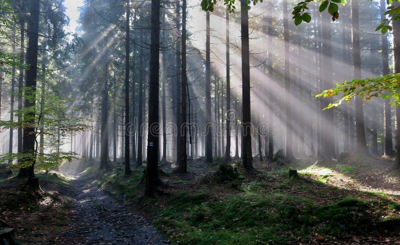 Morning fog in the woods near the Skritek saddle in Jeseniky Mountains royalty free stock image