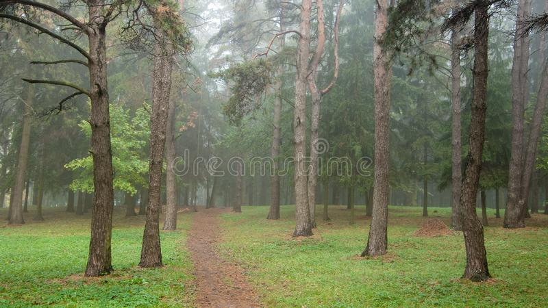 Morning foggy landscape. Forest narrow path deep into the pine park stock image