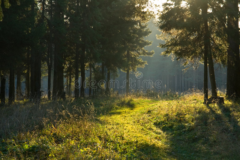Morning In A Forest Royalty Free Stock Photo