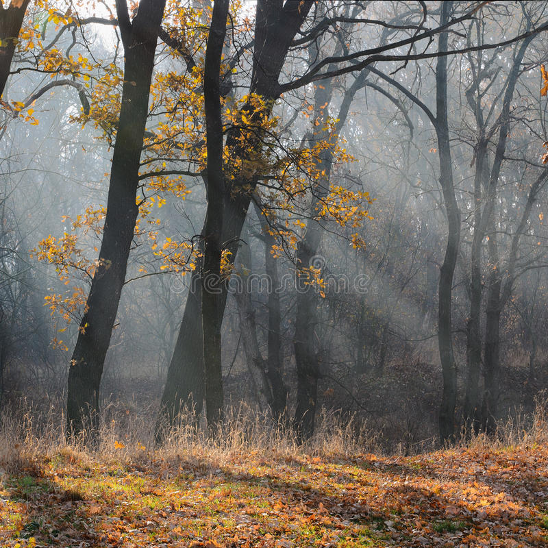Morning in the forest. Autumn morning sun rays filtering through the mist among the trees stock photos